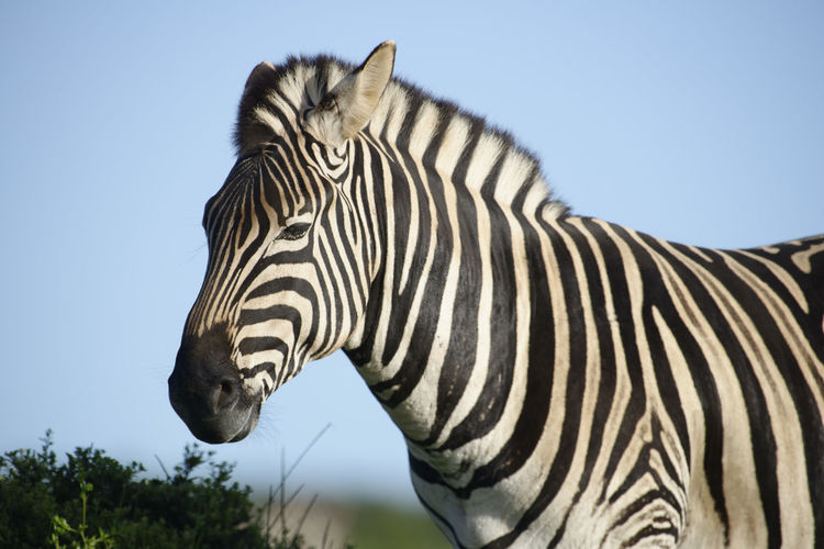 Close-up of zebra standing against clear sky
