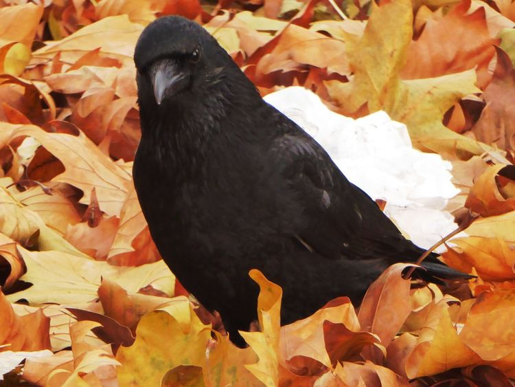 Good Morning ☺ For My Friends 😍😘🎁 Contrast In Nature Contrast Colours Enjoying The View Leaves On The Ground Beauty In November Nature Focus On Foreground Crow Cold Temperature Close-up Bicycle Trip Enjoying Life Leaves 🍁 Raven - Bird For Crowlovers Bird Beauty In Nature Enjoying Nature Celebrate The Little Things In Life