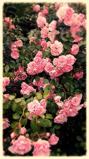 A beautiful pink rose Bush outside my home, a sight as uplifting as it is beautiful.