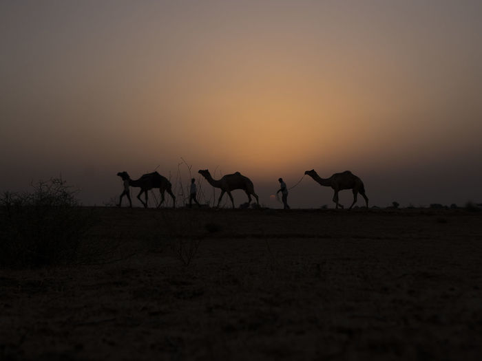 Silhouette Camels On Landscape Against Sky During Sunset