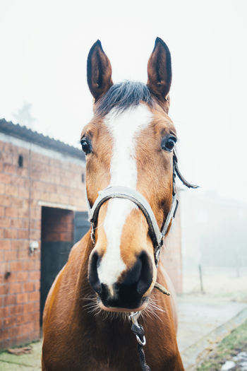 Closeup Equestrian Equine Front View Horse One Animal Outdoors Portrait
