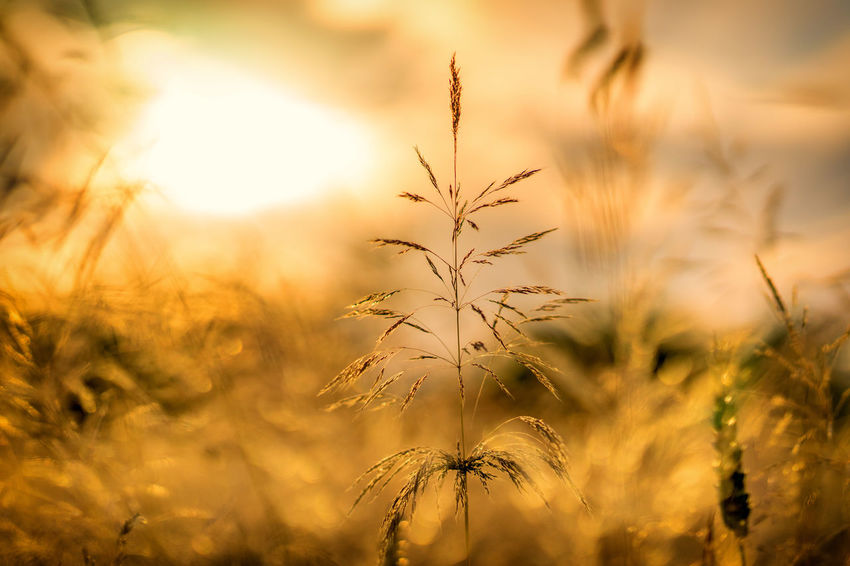Golden summer day. Beauty In Nature Bokeh Bokeh Photography Close-up Day Field Focus On Foreground Growth Nature No People Outdoors Plant Sky Sunset Tranquil Scene Tranquility