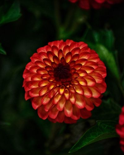 Dahlia Flower Head Inflorescence Fragility Red Vulnerability  Petal Close-up No People Nature Zinnia  Day Outdoors Focus On Foreground Freshness Growth Beauty In Nature Flower Plant Flowering Plant