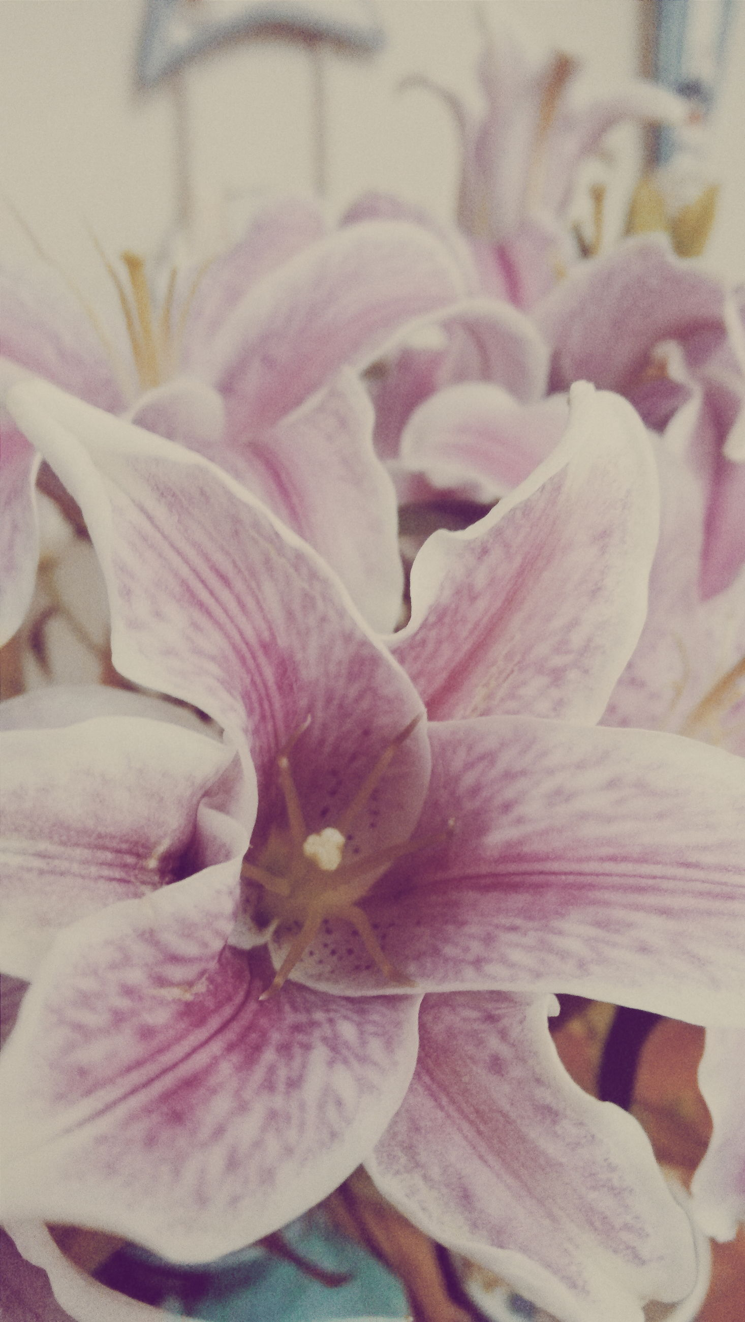 flower, petal, freshness, flower head, fragility, close-up, beauty in nature, growth, nature, pink color, blooming, indoors, purple, plant, full frame, backgrounds, no people, focus on foreground, selective focus, day