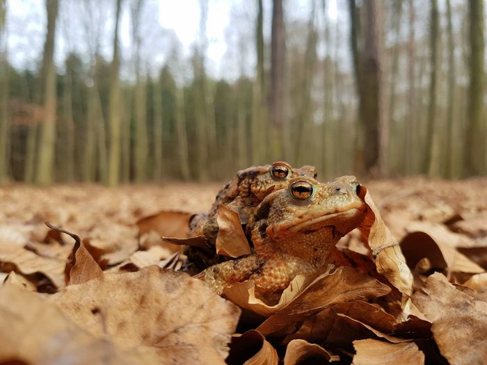 Close-Up Of Frogs On Dry Leaves In Forest