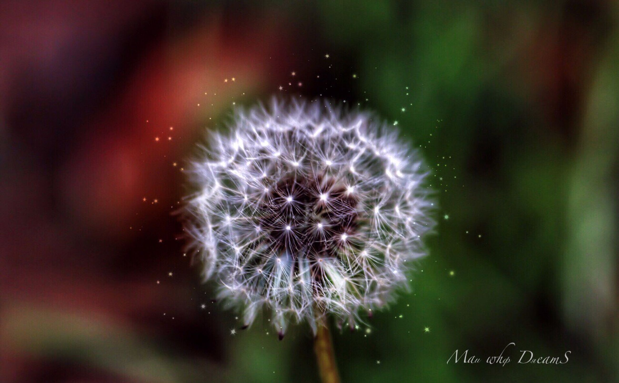 fragility, freshness, vulnerability, flower, flowering plant, beauty in nature, plant, close-up, focus on foreground, no people, inflorescence, flower head, nature, growth, selective focus, dandelion, day, outdoors, softness, dandelion seed, purple