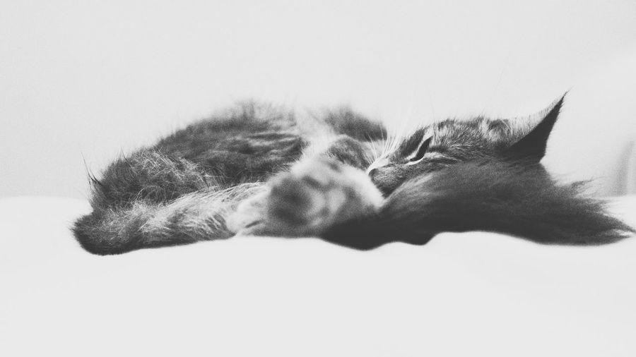 Sleep Tight Night Night, Sleep Tight Cat Pet Sleeping Nap Bnw Minimal Peaceful EyeEm Gallery EyeEm Best Shots Showcase July