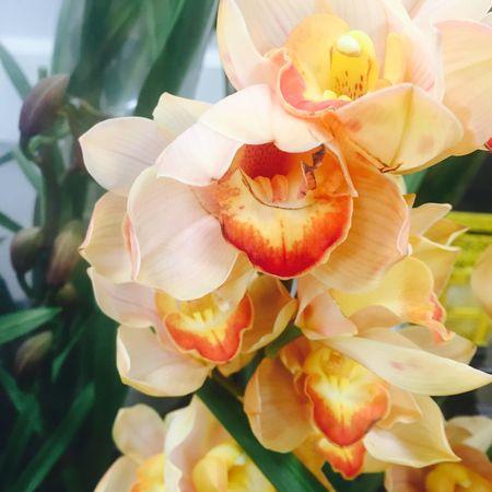 シンビジュウム シンビジュウム シンビジューム 花 ラン 蘭 小花 Flower Photo