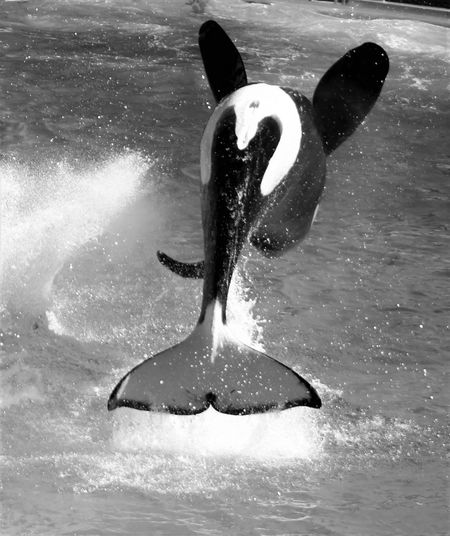 Whales Orca Jumping Upside Down Black And White EyeEm Best Shots - Black + White