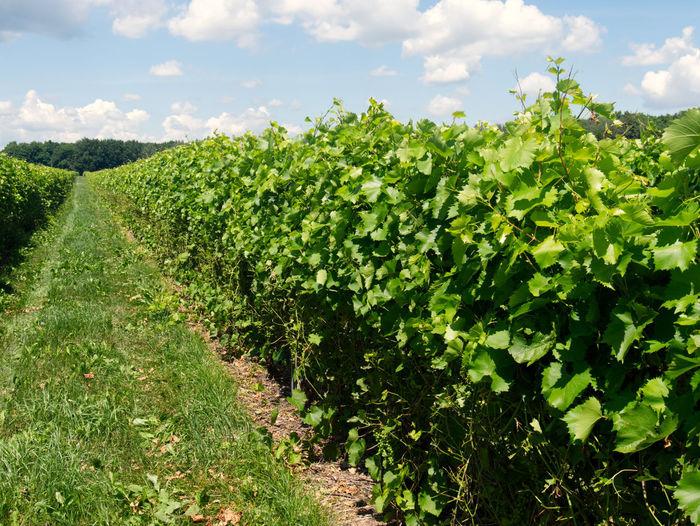 View of vineyard against sky