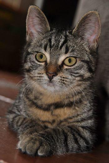Kitten Pet