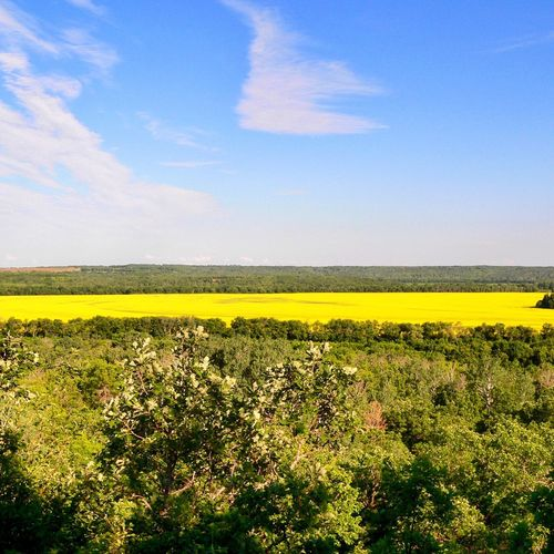Summertime Canola crop. Yellow Crop  Beauty In Nature Tranquil Scene Cultivated Land Rural Scene Landscape Agriculture Nature Field Scenics Sky Cultivated Tranquility Scenic Lookout Summer Sky  Spectacular Scenery Spectacular Landscapes Flower Blue Vistas Farmers Field