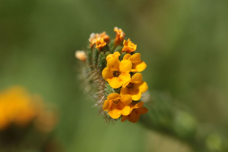 Fiddleneck close-up Beauty In Nature Blooming Close-up Fiddleneck Flower Flower Head Fragility Freshness Growth Nature Outdoors Petal Plant Yellow