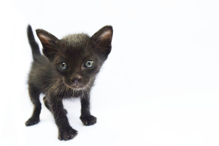 Animal Themes Black Color Close-up Day Domestic Animals Domestic Cat Feline Kitten Looking At Camera Mammal No People One Animal Pets Portrait Studio Shot White Background