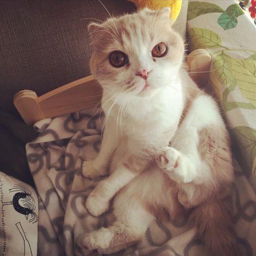 Cat Catsofinstagram Scottishfold Scottish Fold