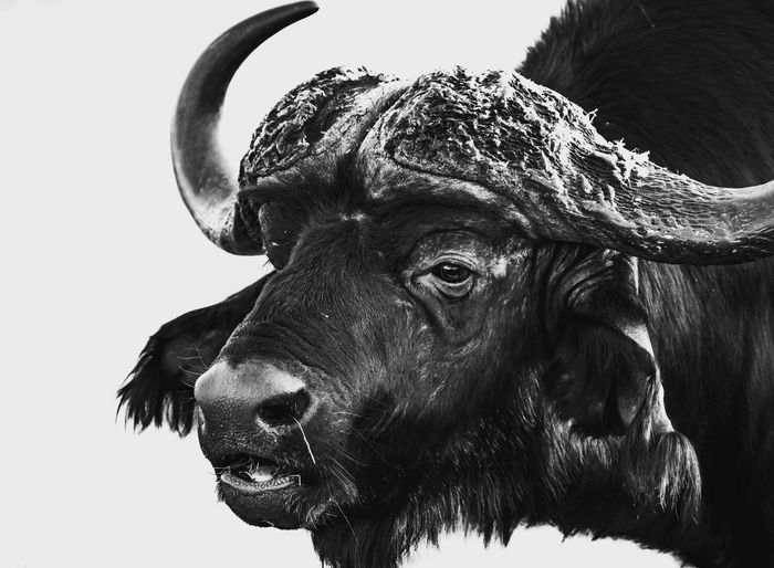 Close-up portrait of a buffalo