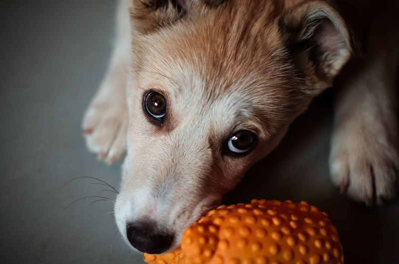 Mammal One Animal Dog Canine Pets Domestic Domestic Animals Indoors  Nicely Puppy Puppy Love Playing Dogs Playing Dog Dog Chews Mongrel Mongrel Dog Cross Red Dog White Dog Nikon Nikonphotography Nikon5100 Nikon5100D 50mm 50mm 1.4