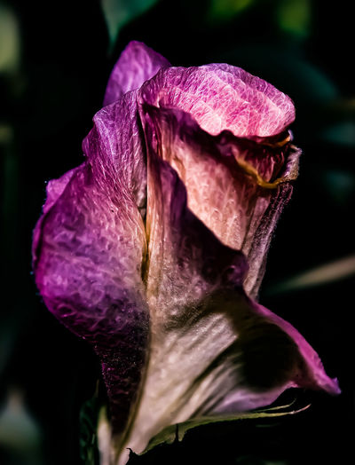Power Your Imagination Flower Fragility Close-up Nature Purple Flower Head Freshness Beauty In Nature Plant No People Outdoors Growth Pink Color EyeEmNewHere@ Freshness Rose - Flower Cereal Plant EyeEmNewHere