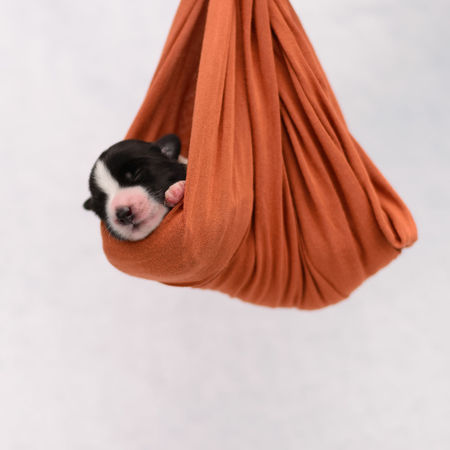 Border collie puppies Bow Dogs Love Animal Animals Black Blackandwhite Cat Dog Domestic Domestic Animals Domestic Cat Feline Indoor Indoors  Mammal Newborn One Animal People Pets Pixel Puppies Puppy Standing Studio Shot Sweets Textile Vertebrate White Background Young Animal