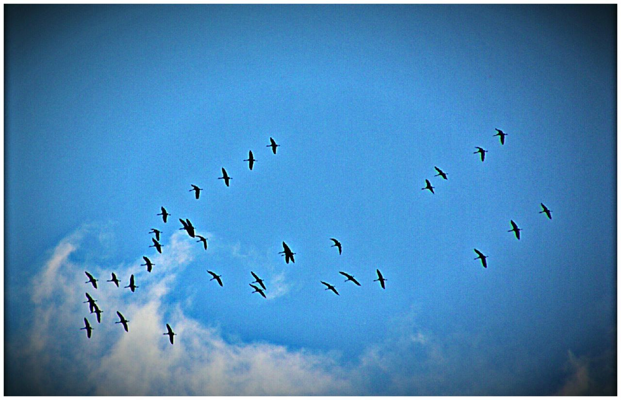bird, animals in the wild, large group of animals, flock of birds, animal themes, auto post production filter, flying, migrating, wildlife, low angle view, sky, nature, day, no people, outdoors, beauty in nature, animal wildlife, clear sky, blue, togetherness, spread wings