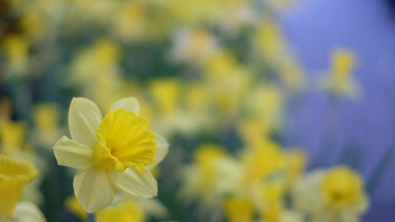Flower Petal Fragility Beauty In Nature Flower Head Yellow Nature Frangipani Springtime Outdoors Close-up Day Focus On Foreground Daffodil No People Growth Plant Blooming Freshness