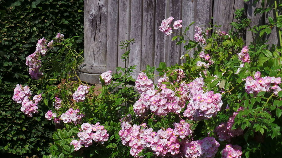 Roses Pink Roses Old Roses Pink Nature Photography Summer Flowers Romantic Roses