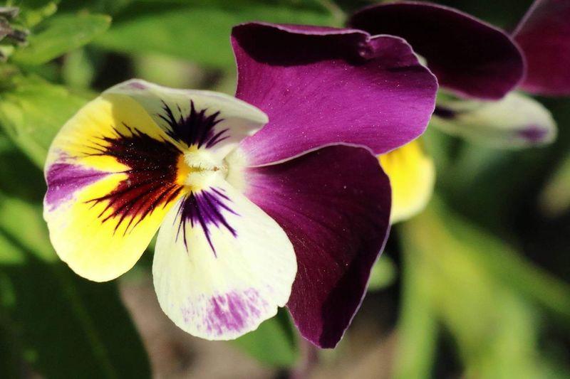 Pansy Flowers po Purple Yeah Springtime! Blooming