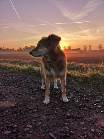Sunset Dog Politics And Government Pets Sky Border Collie Cultivated Land Ear Mixed-breed Dog Nose A New Beginning