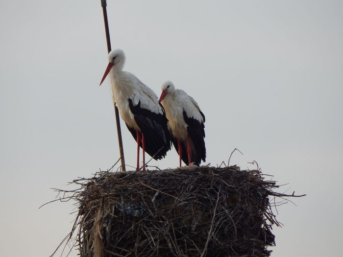 storks Stork Storks Stork Nest Storks Nest Bird Animal Nest Animal Themes Group Of Animals Animals In The Wild Animal Wildlife Two Animals Animal Nature No People White Stork Animal Family Low Angle View Outdoors Nature Nature_collection Nature Photography Naturelovers Birds_collection Birds Of EyeEm  Bird Nest