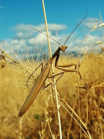 Mature male Brown Praying Mantis notices me in a field photographing him. Nature Photography Nature On Your Doorstep Beautiful Nature Insect Photography Naturephotography Wildlife & Nature Scienceworld Bugsporn