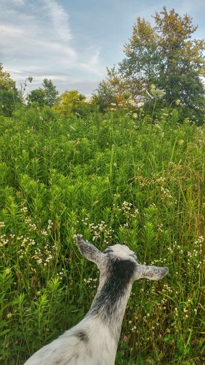 High Angle View Of Goat In Grassy Field