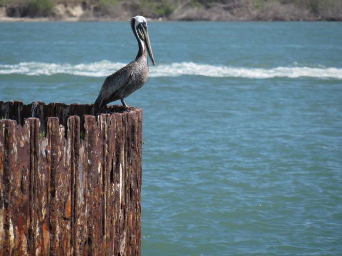 Adult Brown Pelican Animal Themes Animals In The Wild Beak Beauty In Nature Bird Focus On Foreground Metal Bulkhead One Animal Perching Sea Water Bird Waterfront Wildlife Zoology