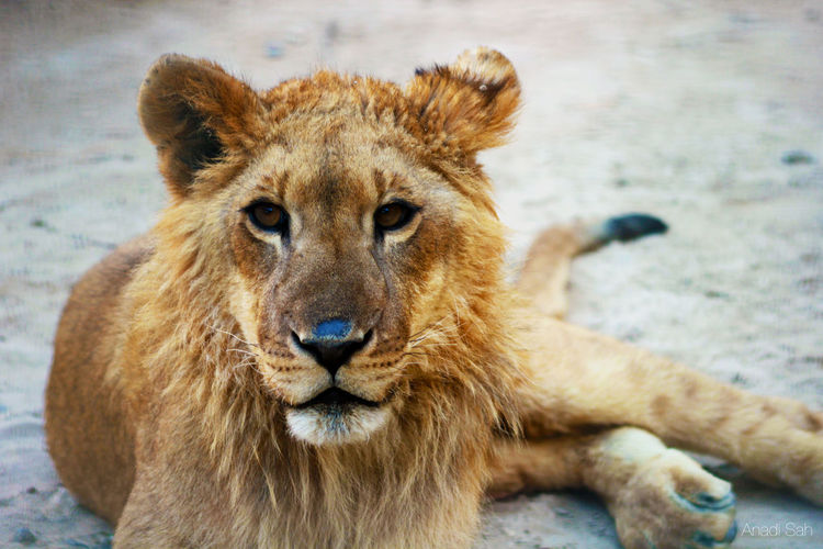 Animal Animal Hair Animal Head  Animal Photography Animal Themes Bahrain Bahrain Tourism Capture The Moment Check This Out Hello World Lion Lion King  Lion Resting Mammal Must Visit Places Nature Portrait Tourism Wild Wildlife Photography Zoo Zoo Animals