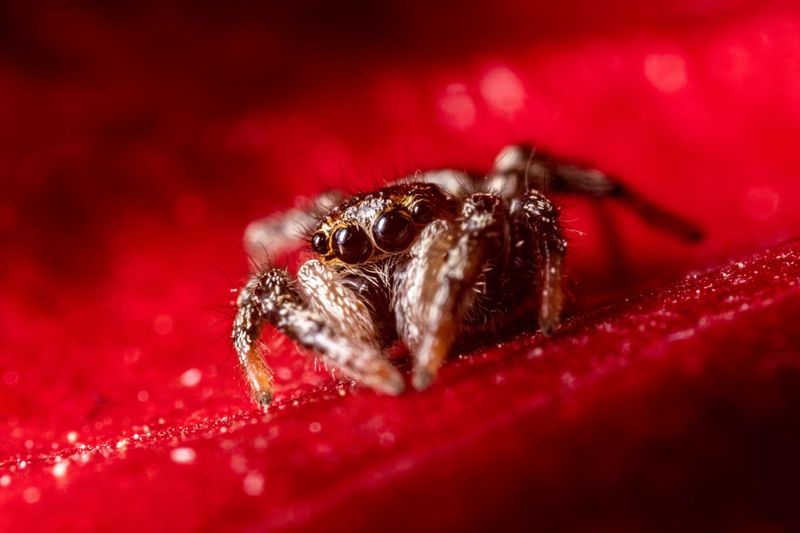 Jumping spider Red One Animal Animal Themes Animal Close-up Animal Wildlife Insect Jumping Spider Nature Invertebrate Zoology Animals In The Wild Selective Focus Arachnid Indoors  Spider Arthropod No People Animal Body Part Animal Leg