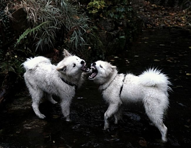 Two dogs faiting