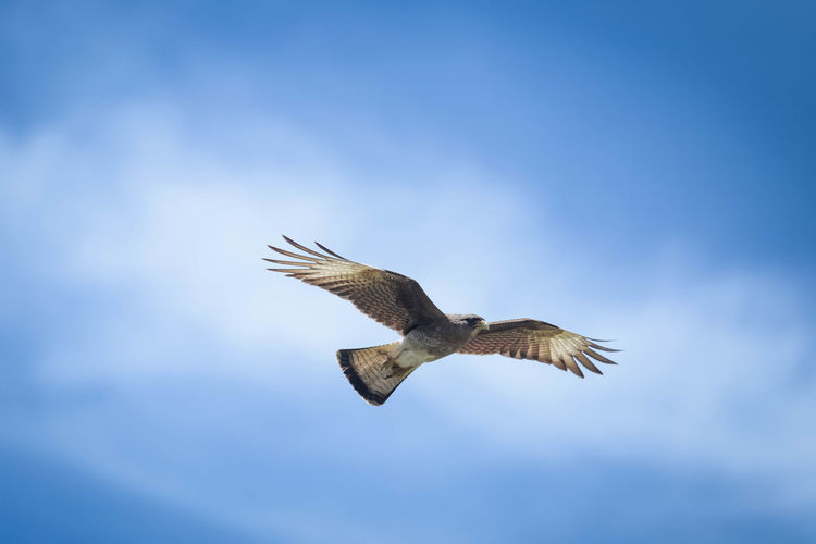 Chimango Flying Animal Wildlife Animals In The Wild Spread Wings Bird Animal Themes Animal Sky Low Angle View One Animal Mid-air Bird Of Prey Blue Nature No People Motion Cloud - Sky Freedom Outdoors Eagle - Bird Eagle Córdoba Argentina Gliding