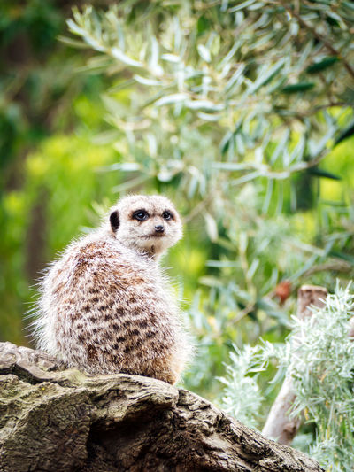 Meerkat sentry on duty 1 Meerkat Zoo Alert Alertness Animal Animalportrait Animals Bokeh Bokeh Background Close-up Mammal Nature One Animal Outdoors Portrait Wildlife Wildlifephotography Zoo Animals