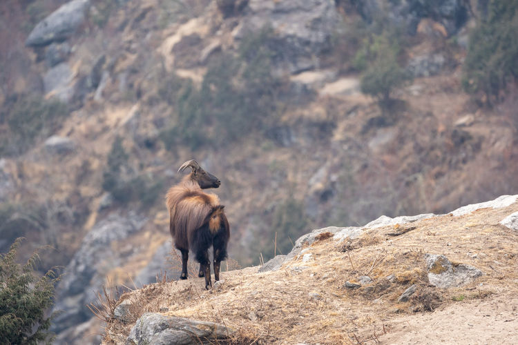 A himalayan tahr standing on a cliff in the himalayan mountains.