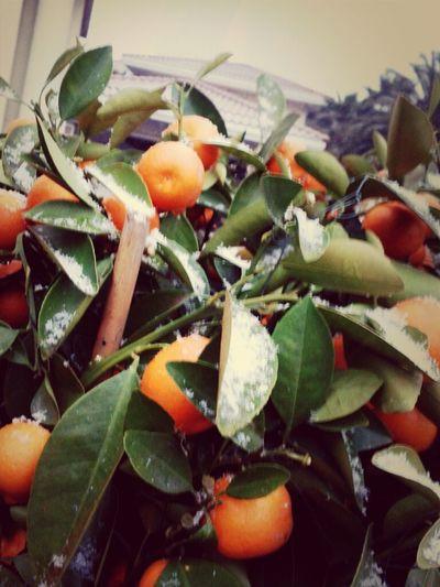 snowy oranges