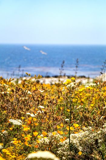 blissful views Nature EyeEm Best Shots EyeEm Nature Lover California Flower Water Sea Flower Head Beach Summer Yellow Defocused Uncultivated Sky Wildflower Poppy In Bloom Sand Dune Seascape Blooming Tide Wave Surf Coast Dandelion Seed Thistle Botany Stamen Blossom Plant Life
