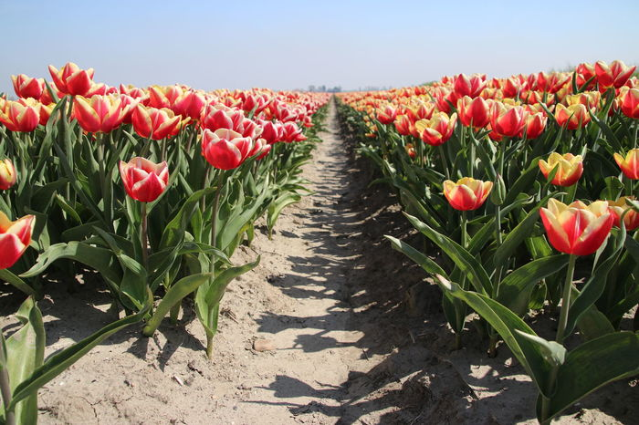 Tulip flower fields illuminated by the sunlight in the polder of Goeree Overflakkee in the Netherlands Flower Field The Netherlands Tulips Tulip Beauty In Nature Flower Flowering Plant Freshness Growth Nature No People Plant Red Yellow Flowers Sun Illumination Tulip