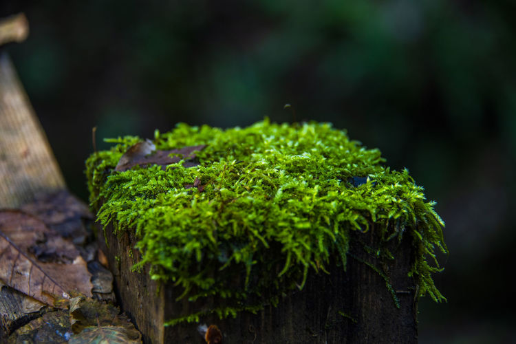 Close-up of moss growing on wood in forest