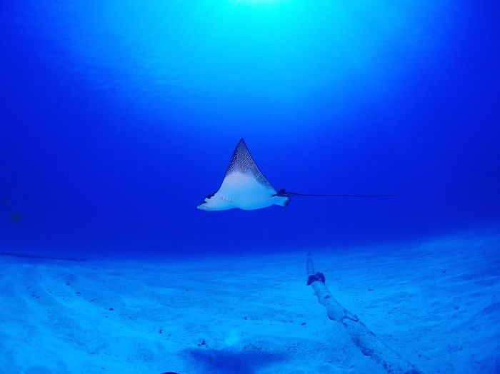 Eagle Ray Swimming In Sea