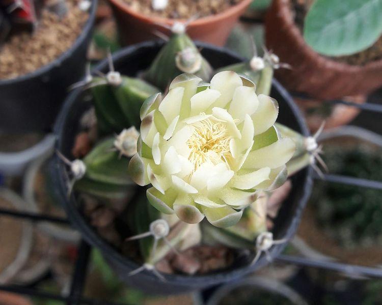 Flower Head Flower Prickly Pear Cactus Artichoke Close-up Plant