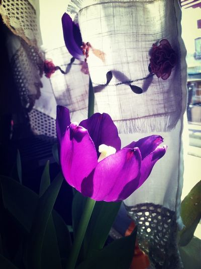 Kitchen Purple Tulip