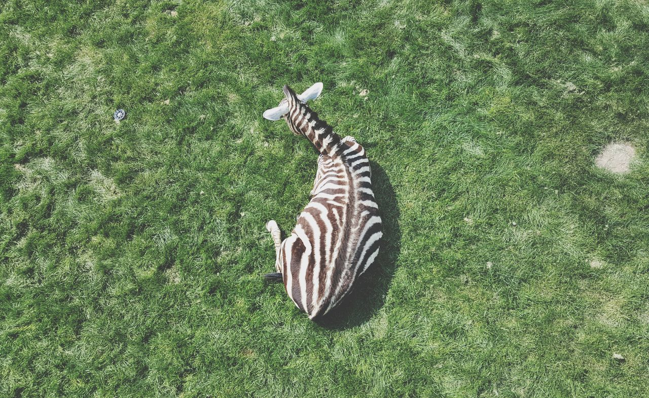 HIGH ANGLE VIEW OF ZEBRA IN FIELD