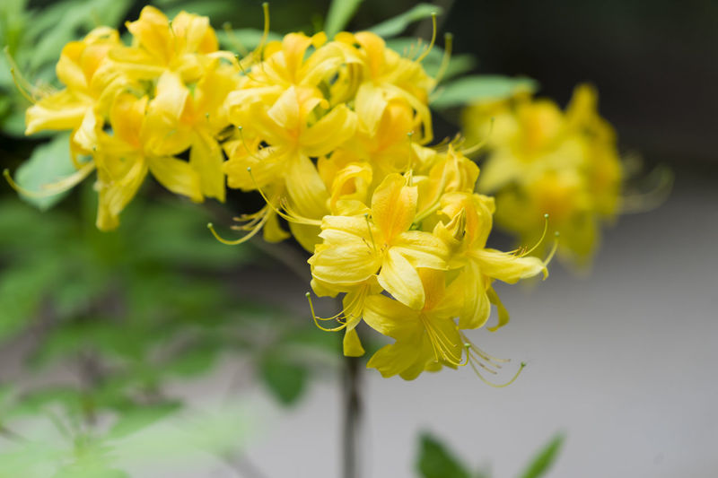 Yellow azalea in the garden in spring Nature Azalea Beauty In Nature Blooming Blossom Close-up Day Flower Focus On Foreground Fragility Freshness Garden Growth In Bloom Outdoors Plant Spring Yellow