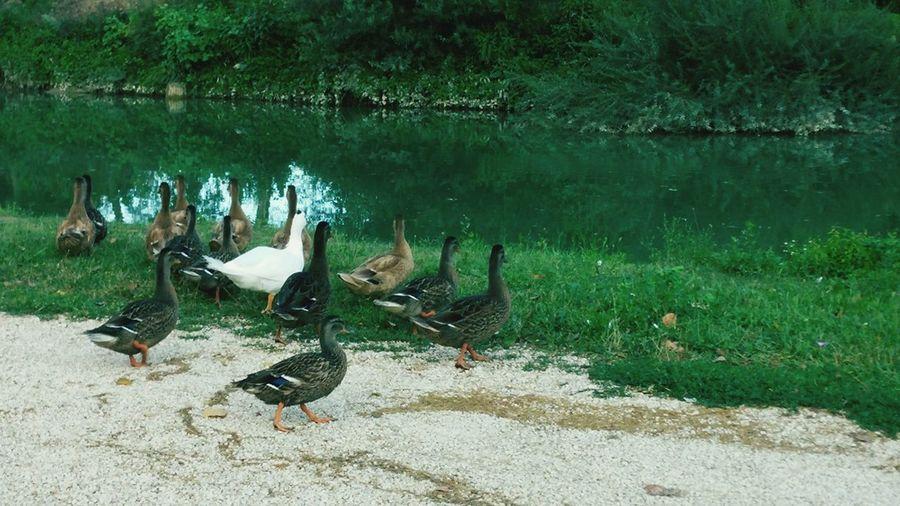 Duck Therealduckface Nature Green