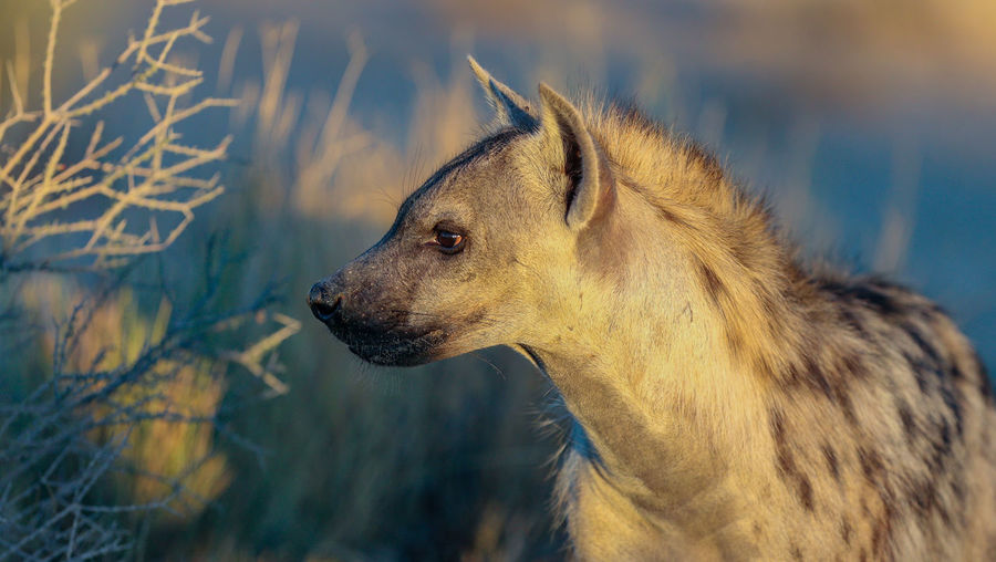 Hyena portrait captured during the early morning golden hour. African Africa Animal Animal Head  Animal Themes Canine Close-up Day Focus On Foreground Golden Light Looking Looking Away Mammal Nature No People One Animal Pets Profile View Safari Scavenger Side View Sunrise Vertebrate Wild Wildlife