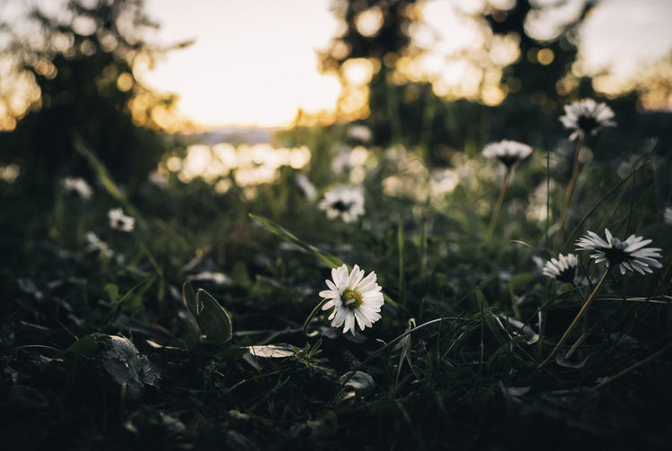 Flower Flowering Plant Plant Fragility Growth Freshness Beauty In Nature Vulnerability  Field Flower Head Land Inflorescence Nature Selective Focus No People Close-up Petal Outdoors Tranquility Day Sunset Daisy Golden Hour Up Close Greenery
